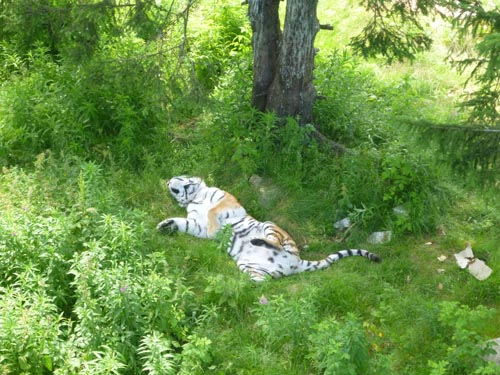 A happy tiger takes a nap in the sun at the bear park.