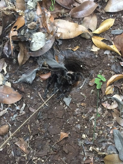 Seeing this tarantula in the jungle was a real treat.