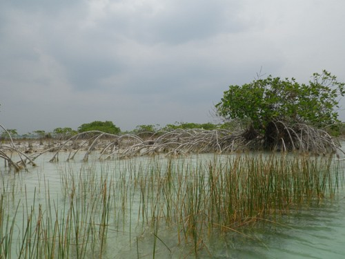 It was fun to paddle around the mangroves.