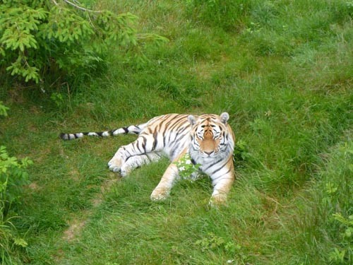There were some tigers as well.