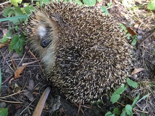 This napping hedgehog had us a little concerned, but a gentle poke woke him, and he strolled off into a safer location.